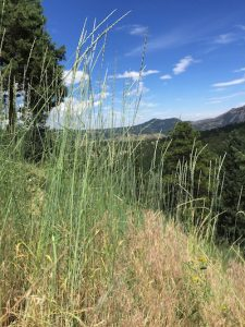 Tall Dry Grasses In Coal Creek Canyon
